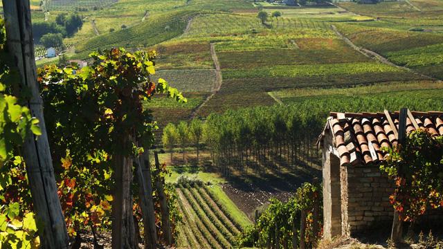 PHOTO:Moscato Vineyard, Monferatto District