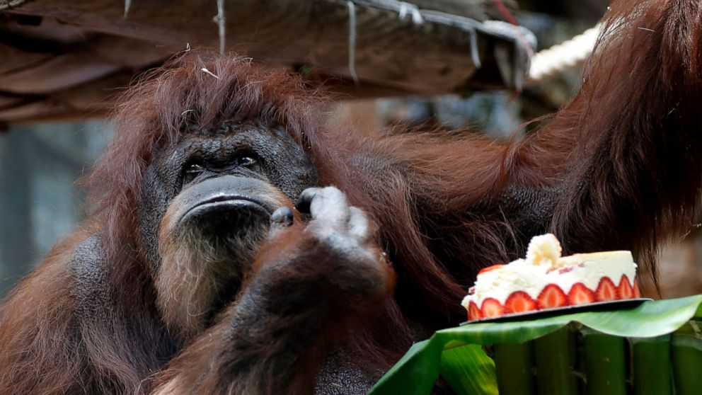 Paris zoo gives orangutan Nenette a 50th birthday party