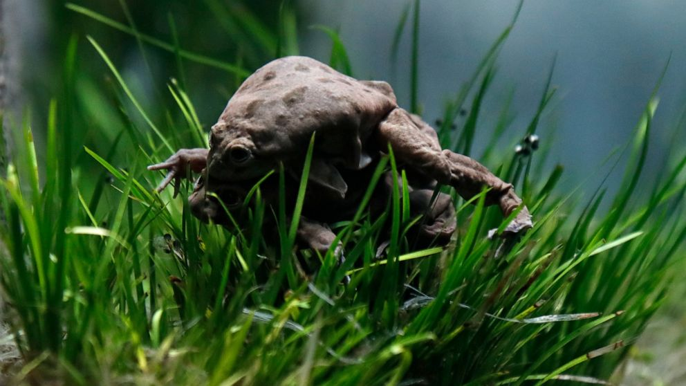 Czech zoo hopes to spawn endangered South American frogs