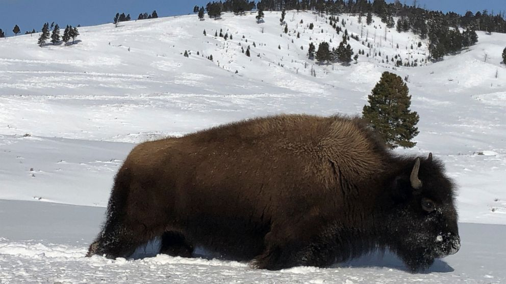 Yellowstone slaughters wild bison to shrink park's herds