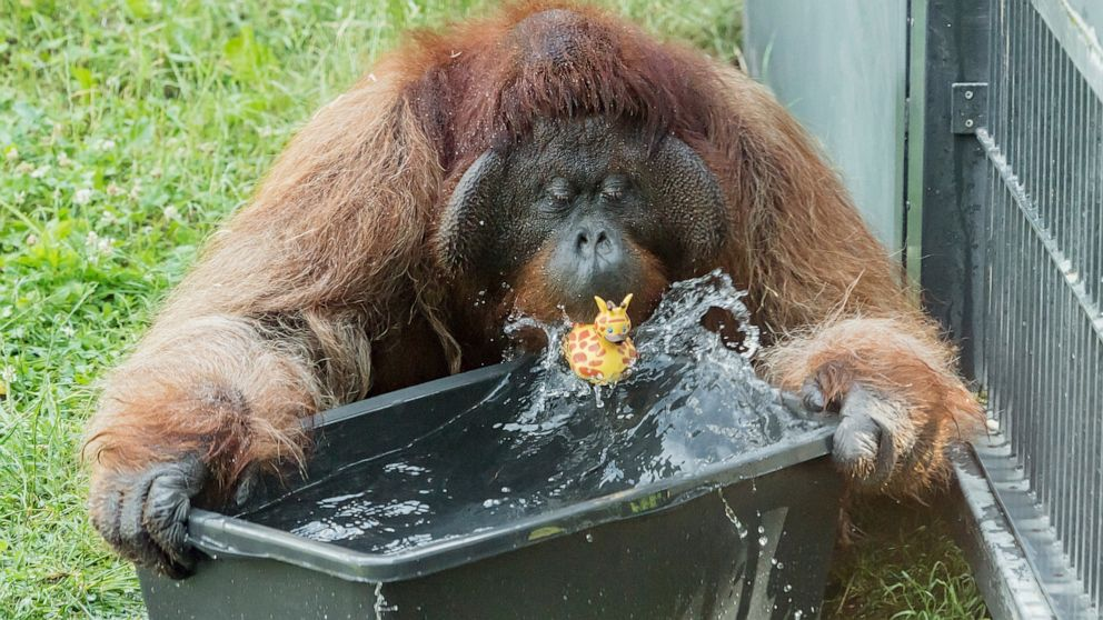 Orangutans, polar bears make a splash as Europe swelters