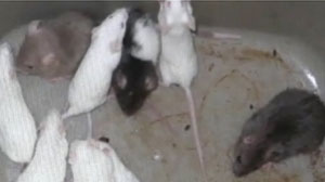 PHOTO Police say the owner of Bella Pizzeria was caught stashing live mice in two rival pizza shops down the street.
