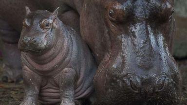 'PHOTO:Walt Disney Resort revealed on Feb. 21, 2018 that baby Nile hippopotamus was born last month1_b@b_1Disney's Animal Kingdom in Lake Buena Vista, Fla.' from the web at 'https://s.abcnews.com/images/Travel/baby-hippo-ht-hb-180222_16x9t_384.jpg'