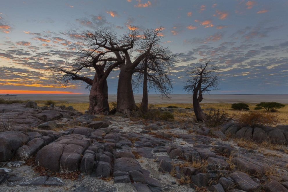 PHOTO: Boabab trees are seen at sunrise in Botswana.