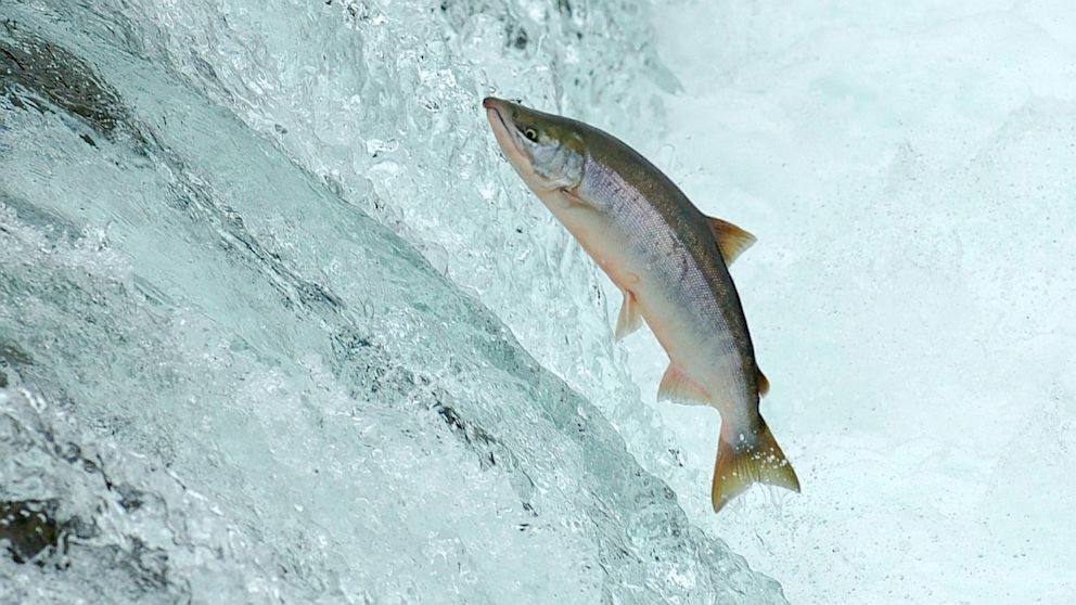 salmon fish jumping wwwpixsharkcom images galleries