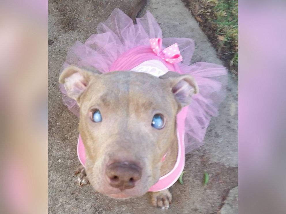Blind pit bull abandoned on park bench gets second chance abc news photo poly who is blind has found love in a foster home after voltagebd Choice Image