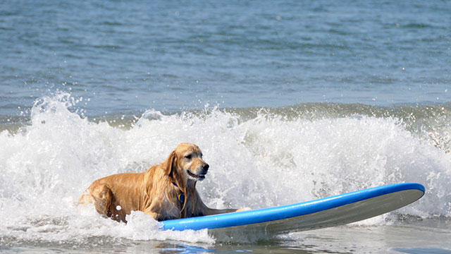 "PHOTO: The ""Most Spectacular Luxury Dog Holiday"" includes surfing lessons for your pet."