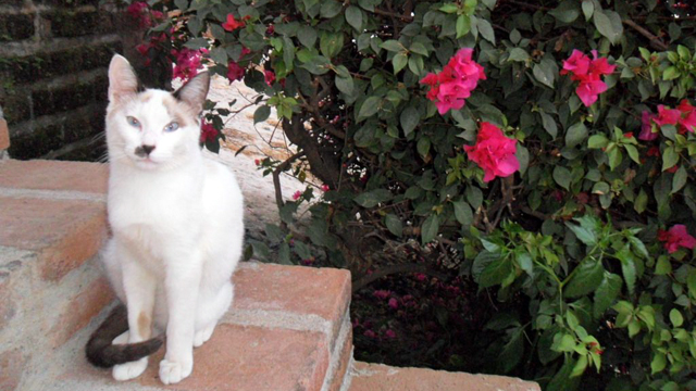 PHOTO: The most recent cat to find plush accommodations at Hacienda San Angel in Puerto Vallarta, Mexico is Sweetie Pie.