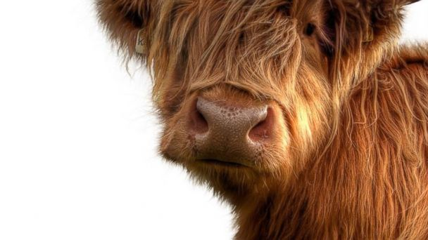 PHOTO: Shaggy Highland ponies and Highland cows are equally adorable mascots for Tartan Week.