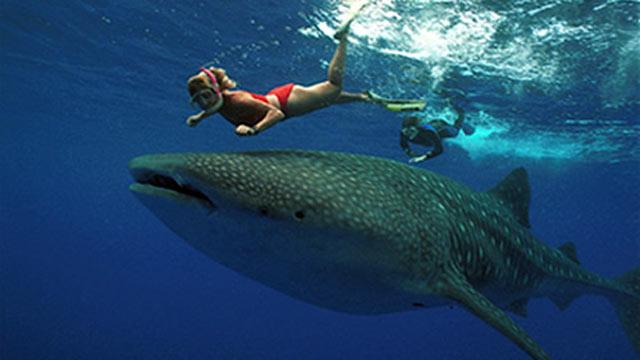 PHOTO: Whale Shark, Isla Holbox