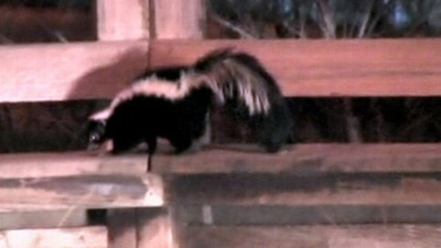 VIDEO: Skunks in Sacramento, Calif., look for food, companionship during mating season.
