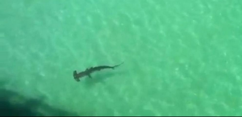 VIDEO: Hammerhead Shark Gets Uncomfortably Close to Swimmers