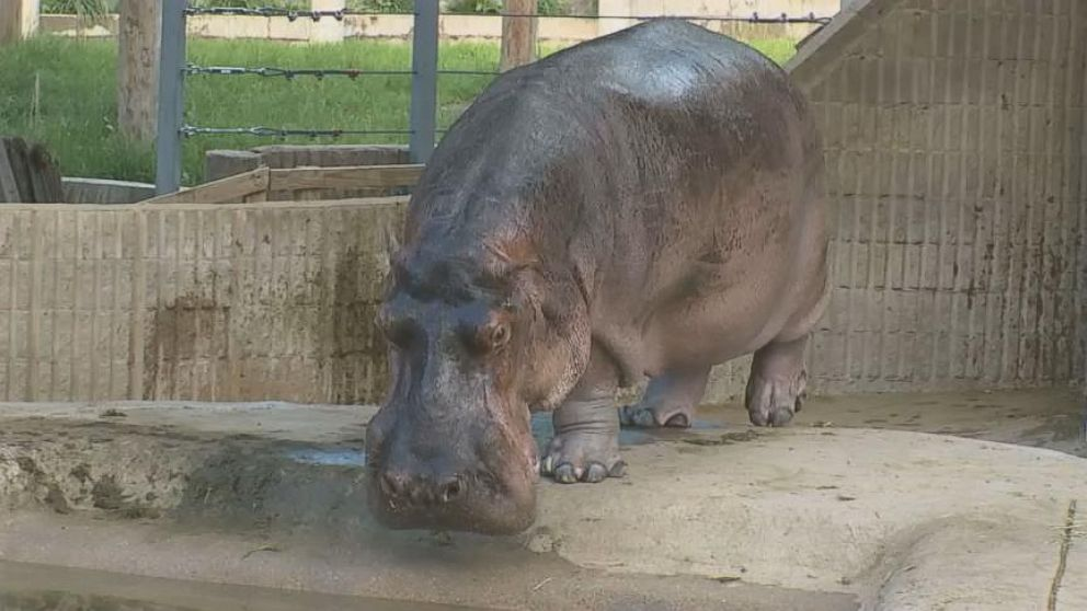 Meet North America's Oldest Hippo on His 58th Birthday