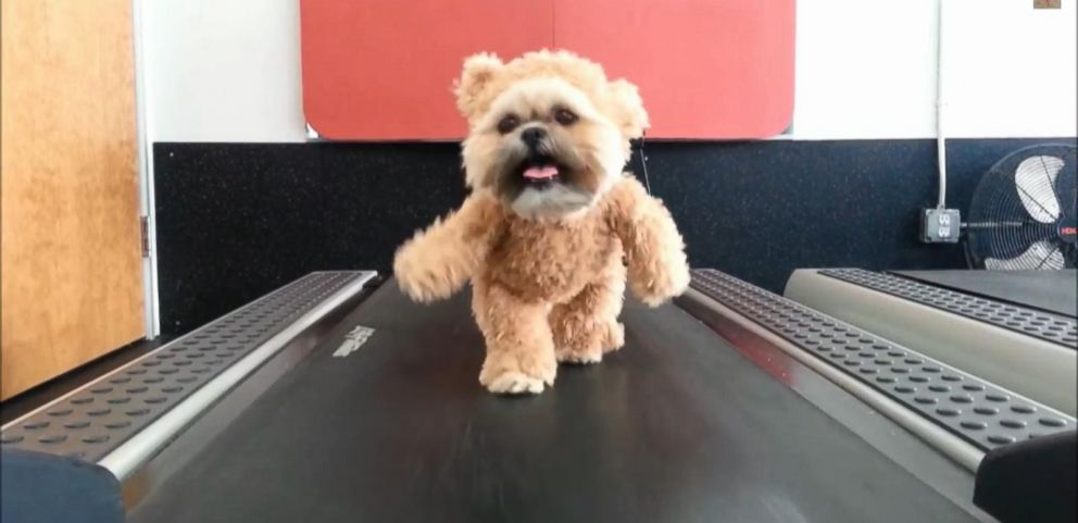 VIDEO: Munchkin the Shihtzu walks on a treadmill.