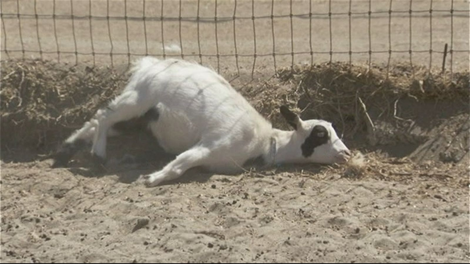 Why These Fainting Goats May Be the 'New Dogs for People