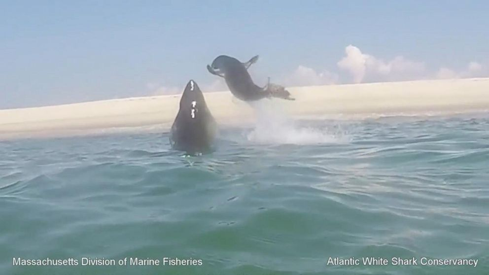 Dramatic Video Captures Great White Shark Leaping Out of