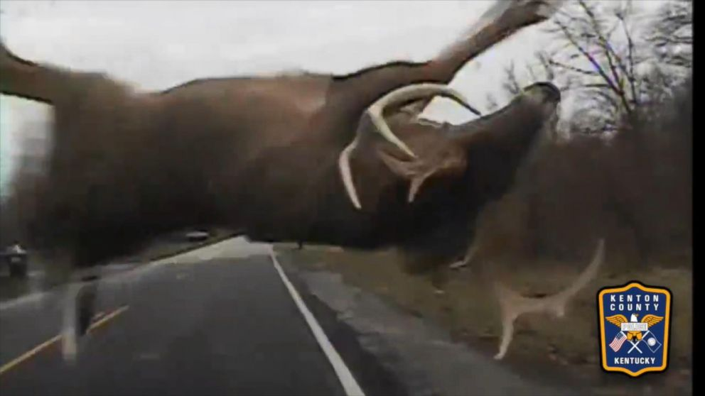Watch a Massive Deer Collide With Police Cruiser, Dash Away