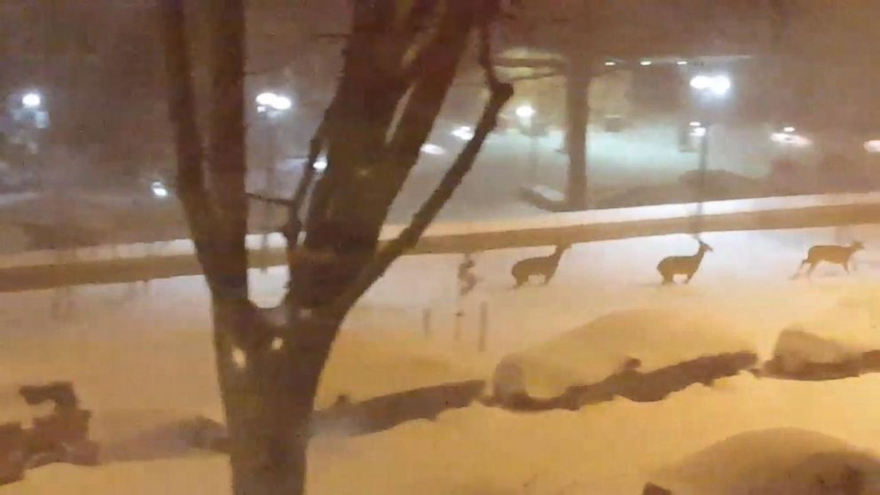 Deer Prance Through Empty Snow-Covered Streets in Washington, D.C.