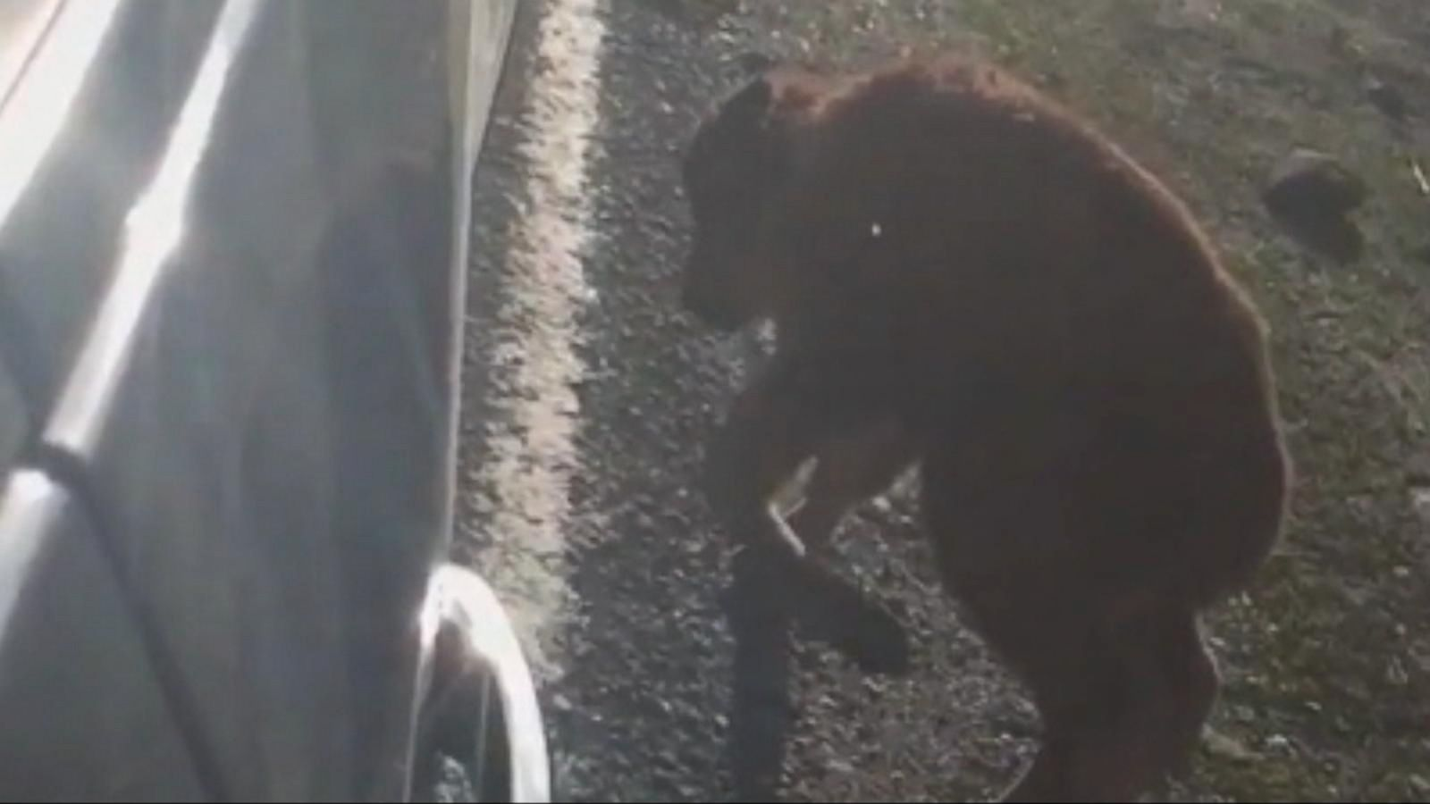 Why Yellowstone Had To Euthanize A Bison Calf After A