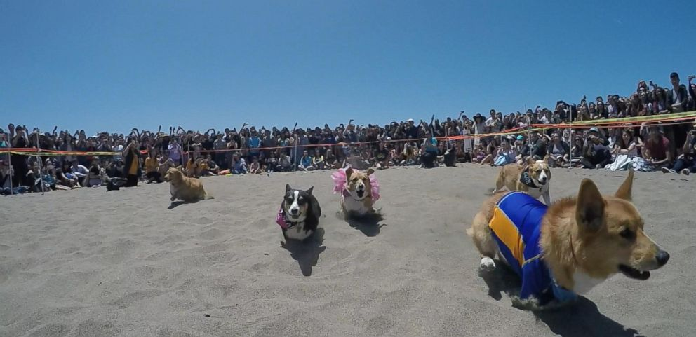 VIDEO: The Pups Hit the Beach for Corgi Con