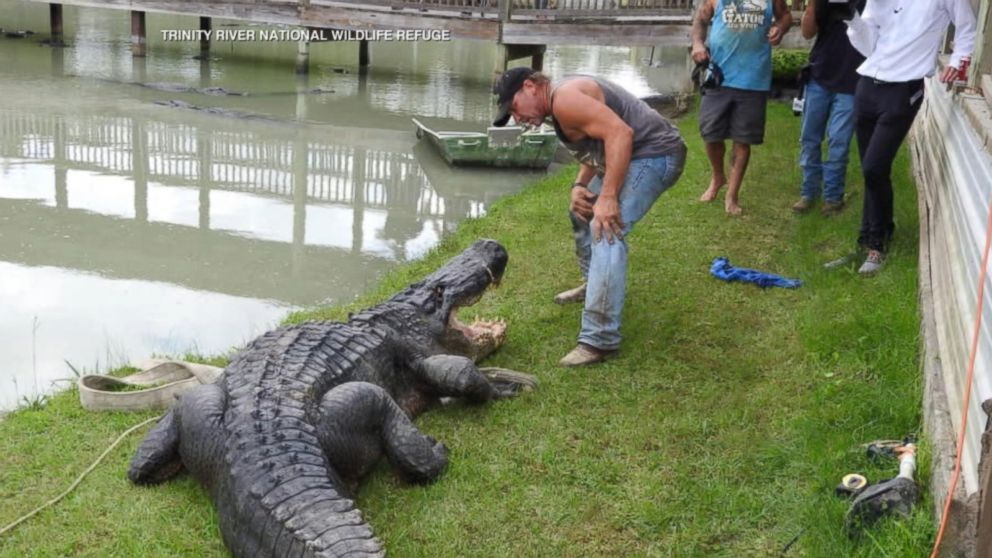 Tpwd The History Of Alligators In Texas