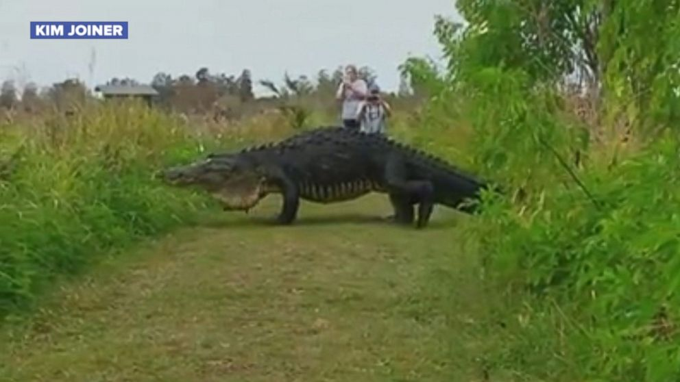 Video Captures Massive Alligator At Nature Preserve In Central