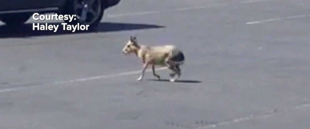 VIDEO: The unusual sighting outside a Las Vegas strip mall was captured on video.