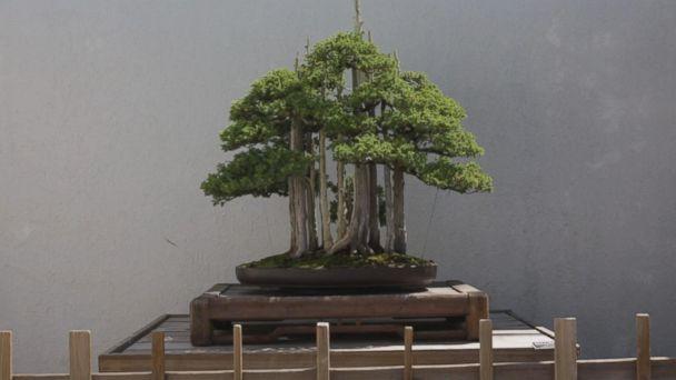 Meet the aspiring bonsai master of Washington, DC