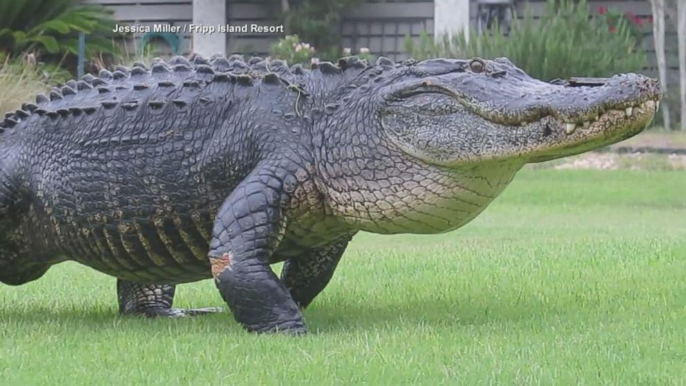 Alligator Strolls Across South Carolina Golf Course Video Abc News