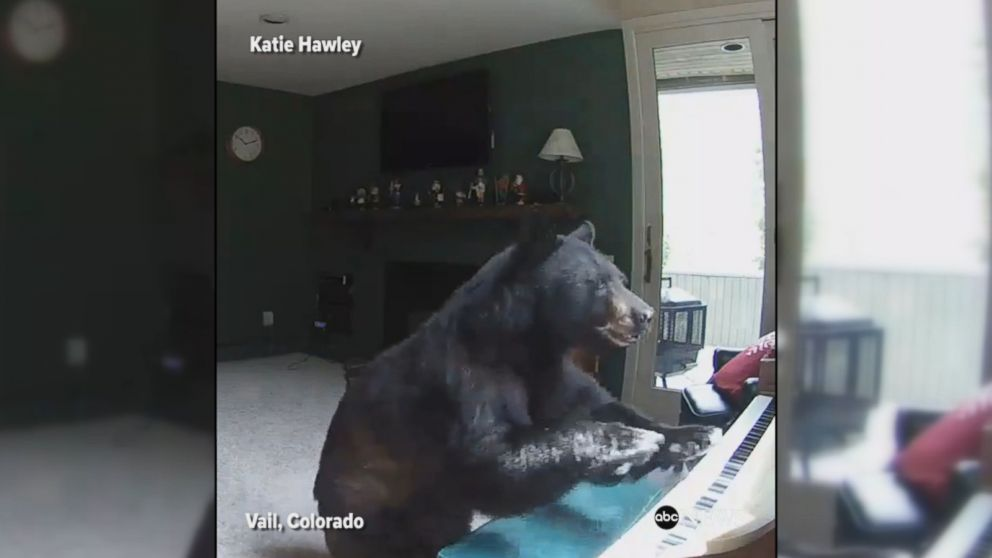 Bear breaks into house, plays piano
