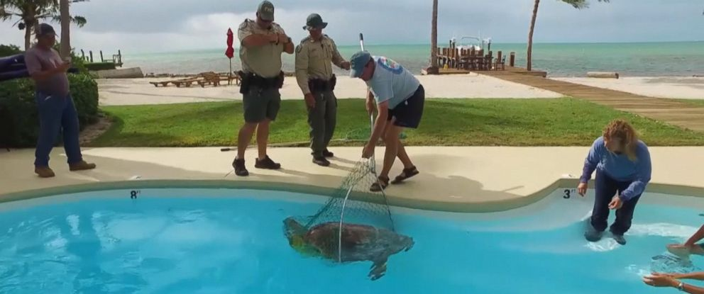 VIDEO: The 250-pound loggerhead ended up in an oceanside residential pool while trying to lay eggs on a beach.