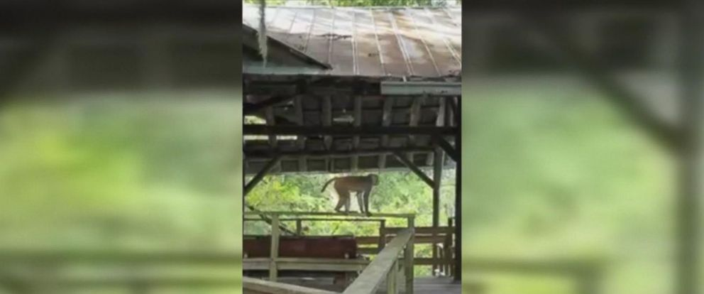 Video shows the monkeys becoming aggressive in Silver Springs Park.