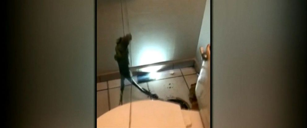 VIDEO: A Florida man pulled the large lizard from a drain pipe while investigating a clogged toilet.