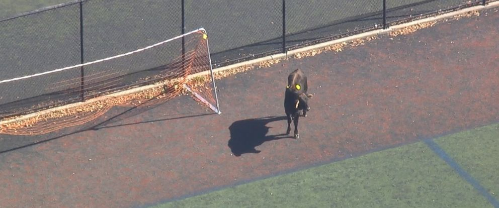 VIDEO: A brown cow is running through Prospect Park in Brooklyn.