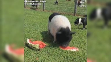 Rescued flying fox quenches her thirst Video Rescued flying fox quenches her thirst Video 180510 abc social hog watermelon hpMain 16x9 384