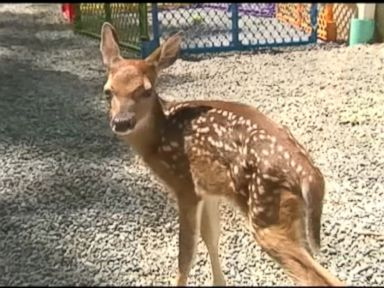 WATCH:  Police deliver fawn via c-section after doe left to die
