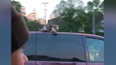 Rescued flying fox quenches her thirst Video Rescued flying fox quenches her thirst Video 180523 ketv cat ride hpMain 16x9 384
