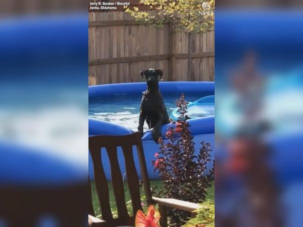 WATCH:  Dog looks guilty after getting caught in swimming pool