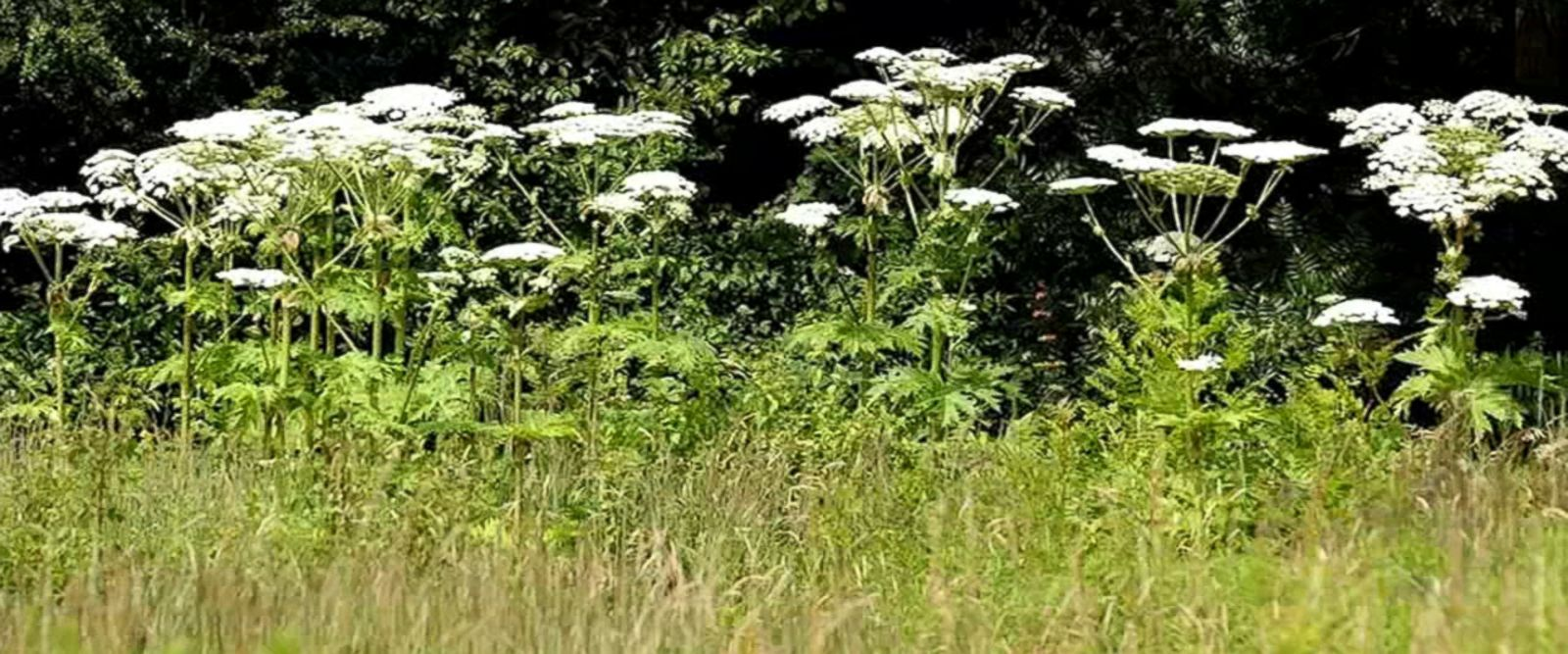VIDEO: The danger of the giant hogweed, an invasive plant spotted in New York, Connecticut and Virginia, comes from its sap.