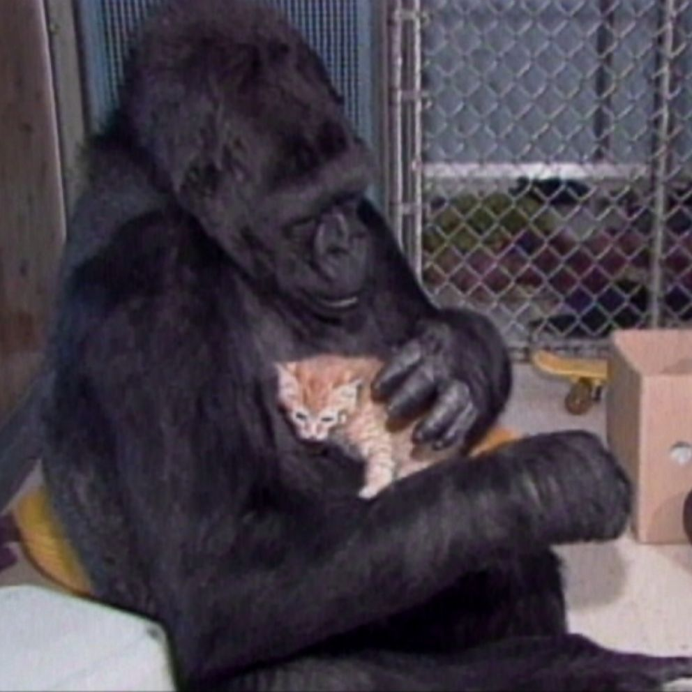 Koko The Gorilla Dies She Taught Me So Much Trainer Says Abc News