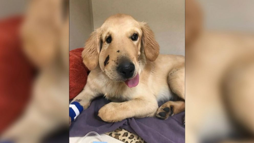 Hero' puppy recovering from snake bite after coming between rattler