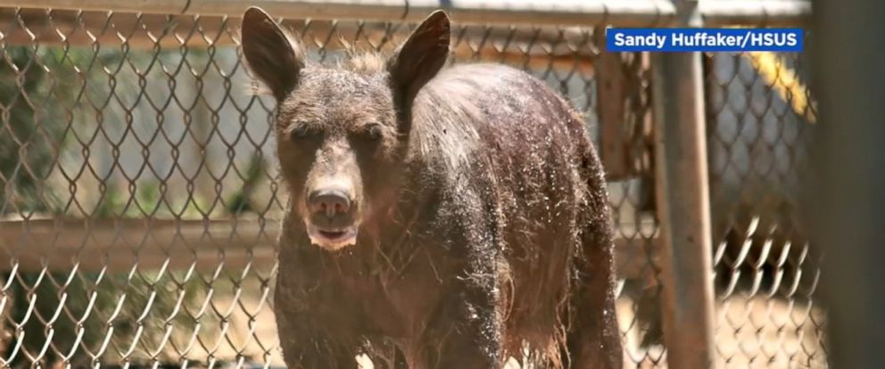 The bear was found alone last month in a trash bin, according to ABC station KGO.