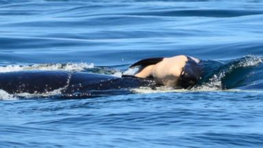Researchers found orca whale still holding on to her dead calf 9 days later Video 180802 komo sad mama orca hpMain 16x9 384