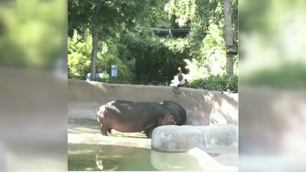 Wabc Hippo Slap Hpmain X on Hippo Rear End