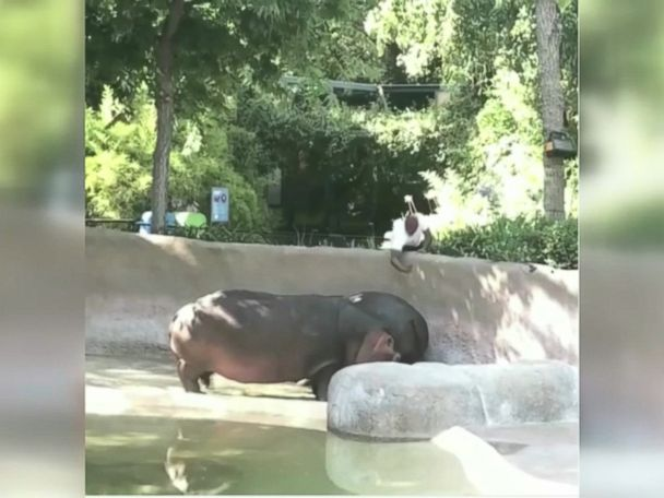WATCH:  Video of man slapping hippo at LA Zoo prompts investigation