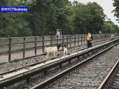 WATCH:  Goats roam onto subway tracks in Brooklyn, NY
