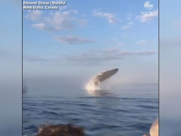 WATCH:  Rare triple whale breach close to boat stuns onlookers