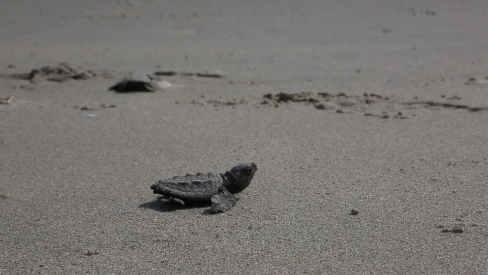 Dozens of endangered baby sea turtles hatched in New York City and crawled to the sea