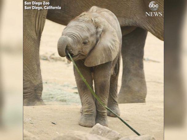 WATCH:  San Diego Zoo's baby elephants join the herd