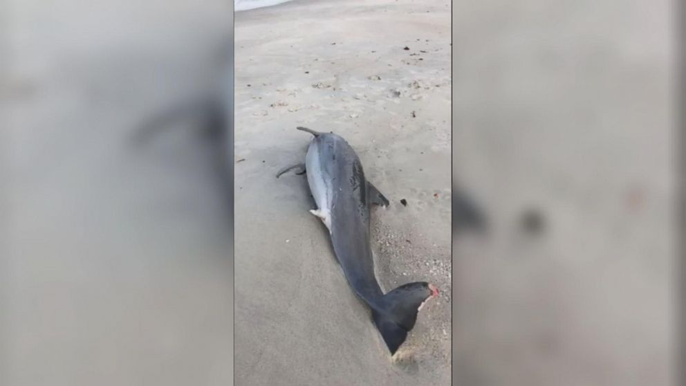 VIDEO: Florida resident Colleen Gill shows a beached dolphin on Facebook